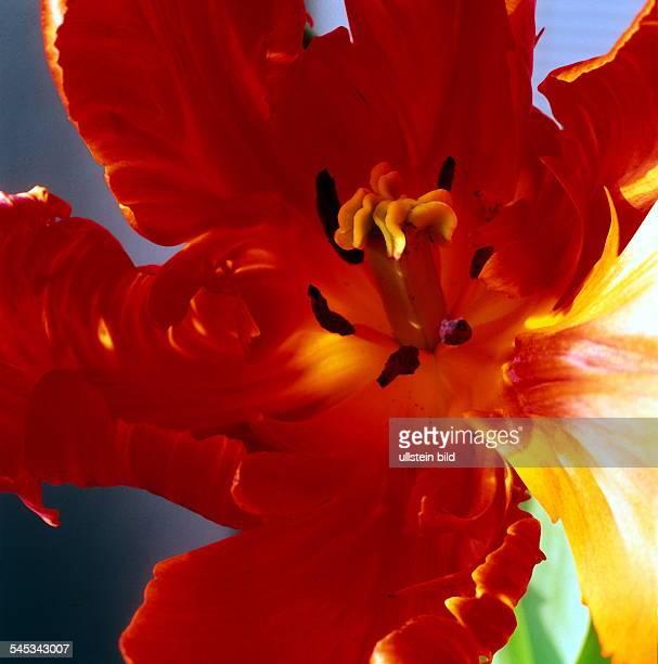 Blüte einer roten Tulpe innen 1997