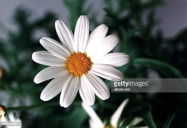 Blüte einer Zwergmargerite 1995