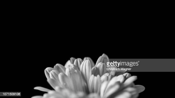 Blüte in schwarzweiss