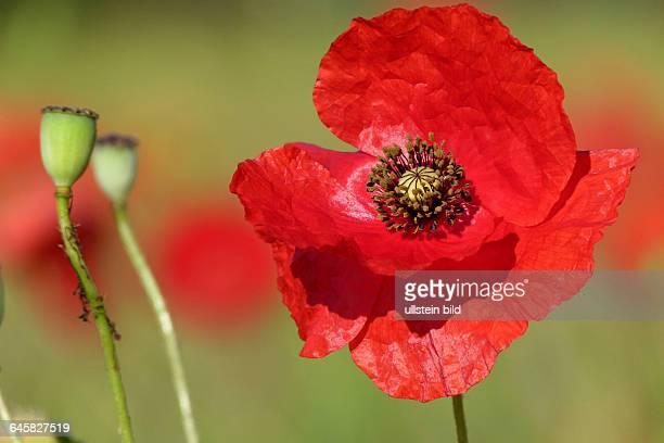 Blüte und Samenstände von Klatschmohn