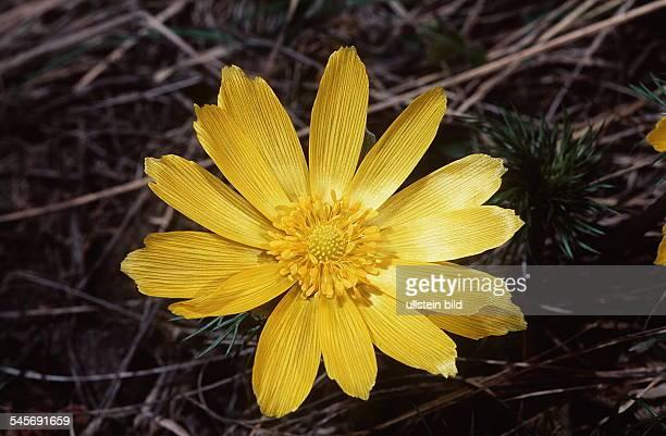 Blüte vom Adonisröschen1995