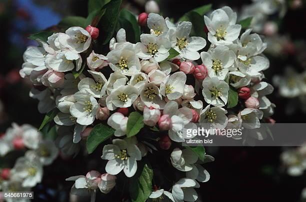 Blüte vom Zierapfel 1995