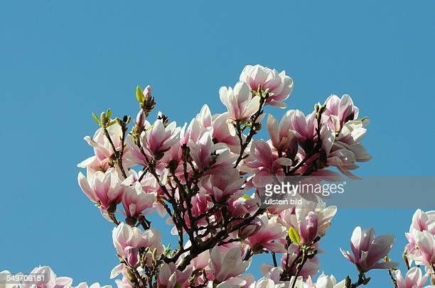 Blüten der Magnolie