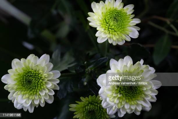 3 Blütengreenwhitevariation