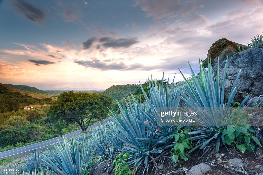 Blue Agave Ayotlan, Jalisco : Stock Photo