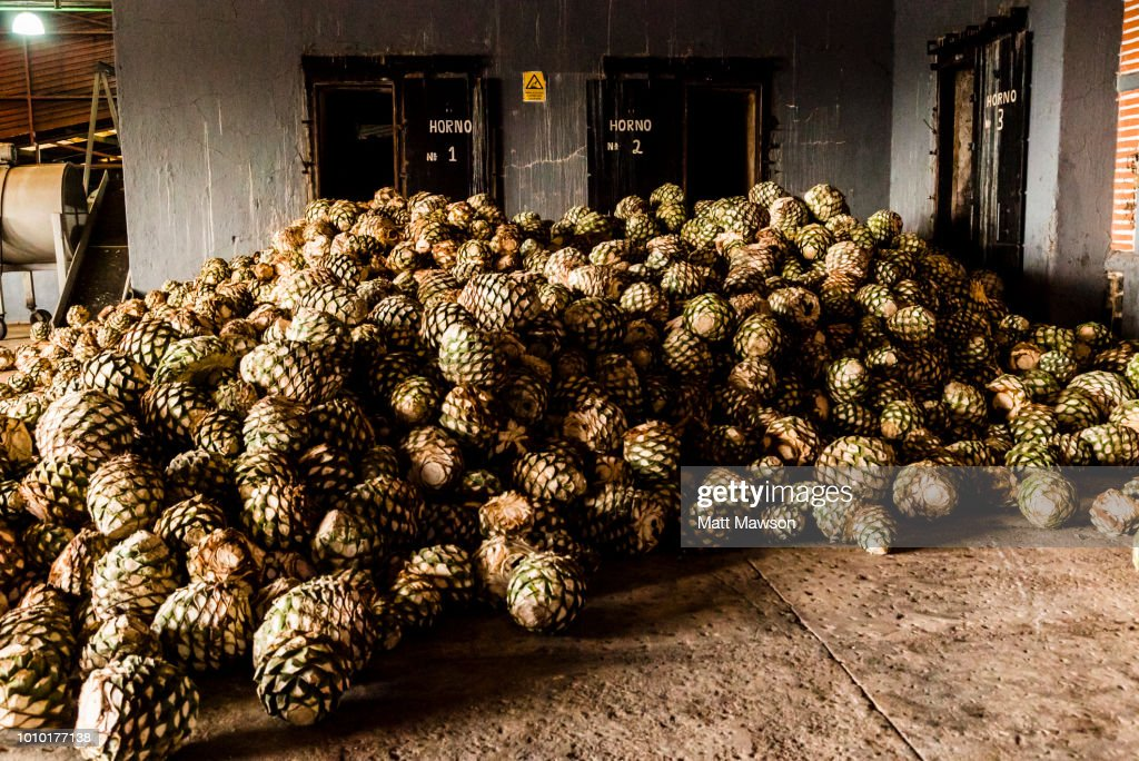 Blue agave bolas, referred to as pineapples, sit in a pile in a tequila distillery in Jalisco state, Mexico. : Stock Photo
