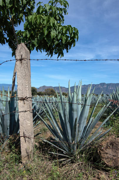 Blue agave (Agave tequilana) growing in a farm field in Tequila, Jalisco, Mexico