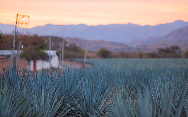 Blue Agave Growing in Tequila, Mexico