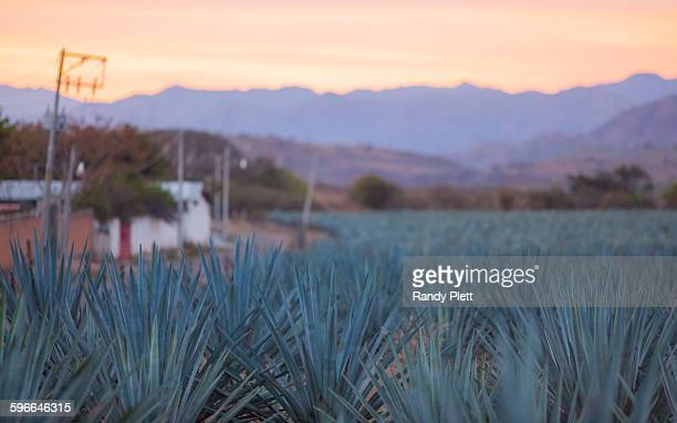 blue agave growing in tequila, mexico - jalisco state stock pictures, royalty-free photos & images