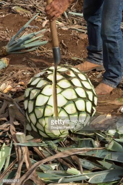 blue agave, harvest, tequila, jalisco, mexico - jalisco fotografías e imágenes de stock