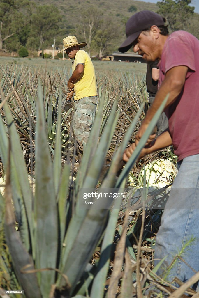 Blue agave harvesting : Stock Photo