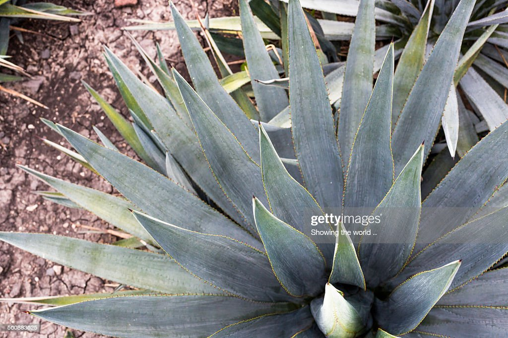 Blue Agave : Stock Photo