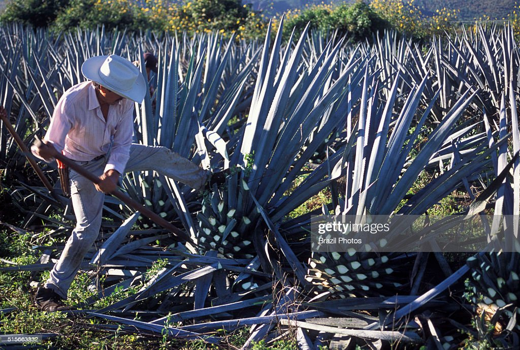 Blue agave pine-cone harvesting ( pina ), known as jima -... : News Photo