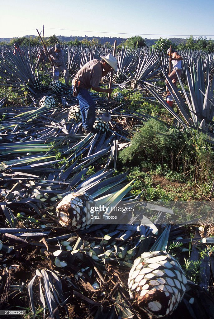 Blue Agave Pine Cone Harvesting Known As Jima Blue Agave Or