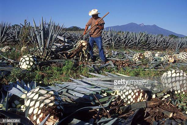 Blue agave pinecone harvesting known as jima blue agave or tequila agave or Agave tequilana is an agave plant that is an important economic product...