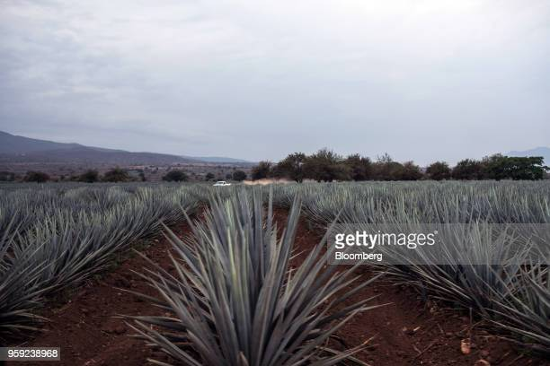 Blue agave plants grow at the Becle SAB Jose Cuervo farm in the town of Tequila Jalisco state Mexico on Thursday May 3 2018 Jose Cuervo sales are...