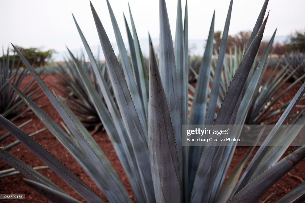 Blue agave plants grow : Stock Photo