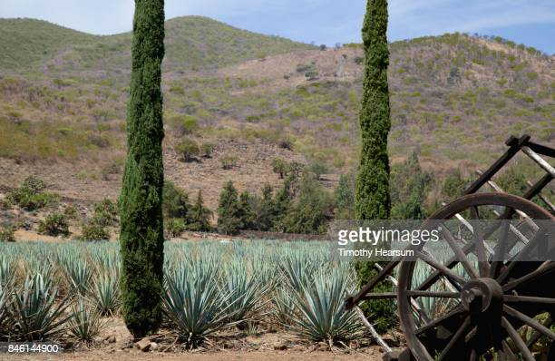 Blue agave plants with poplar trees, old wagon in foreground; mountains beyond
