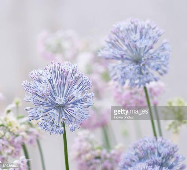Blue Allium Allium caesium