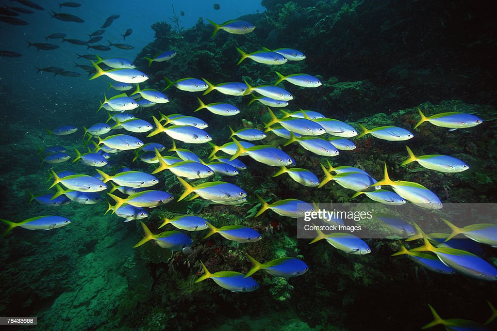 Blue and gold fusilier fish : Stockfoto