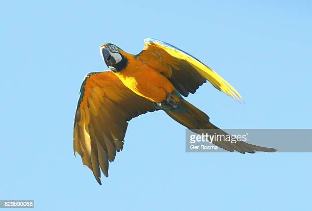 Blue and Gold Macaw In Flight