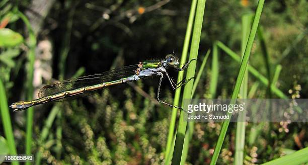 blue and green damselfly on grass - västra götaland county stock pictures, royalty-free photos & images