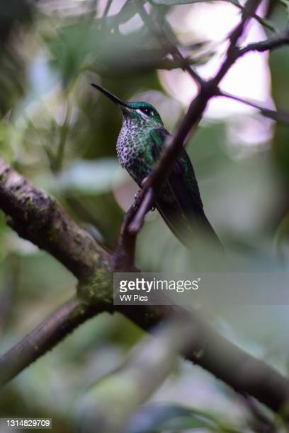 Blue and green hummingbird perched on a tree branch, Costa Rica.