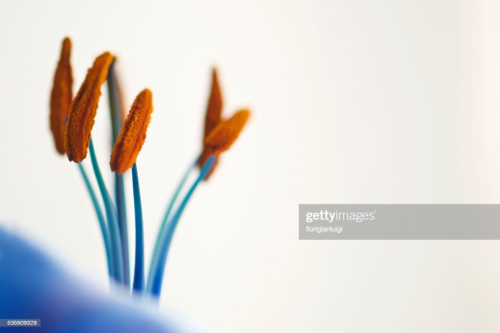 Blue and orange lily anther and filament macro white background : Stock Photo