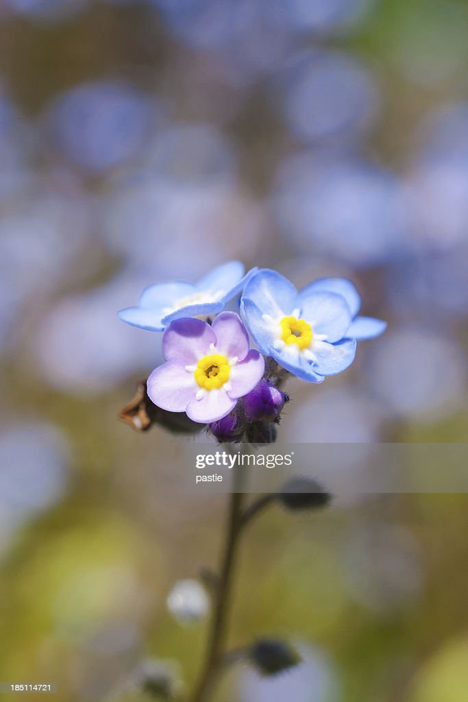 Blue and pink forget me not flowers stock photo getty images blue and pink forget me not flowers stock photo mightylinksfo