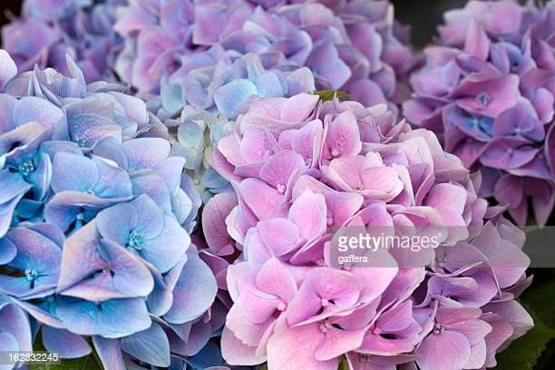 ブルーとピンクアジザイ