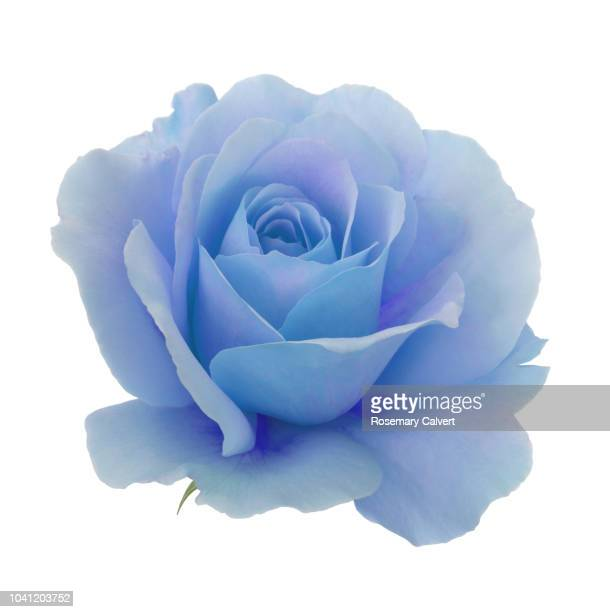 blue and purple rose in close-up on a white square - 一輪の花 ストックフォトと画像