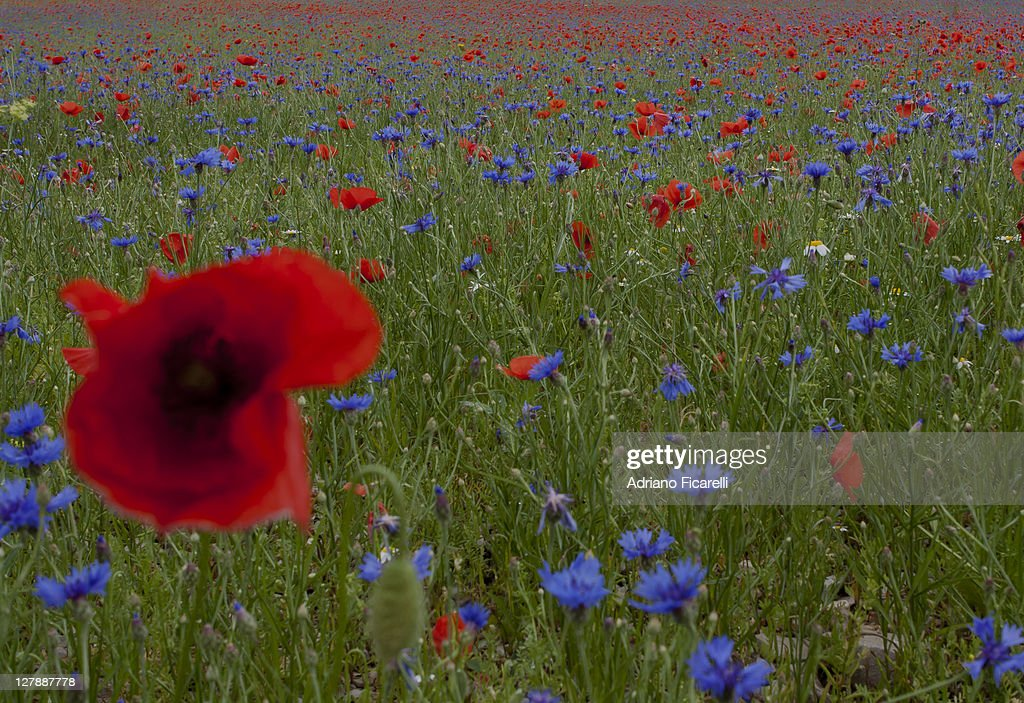 Blue and red flowers : Foto stock
