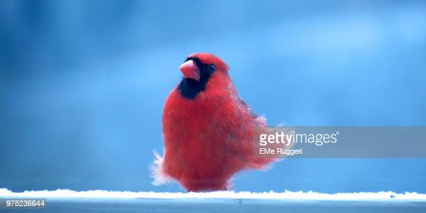 blue and red - blue cardinal bird stock pictures, royalty-free photos & images