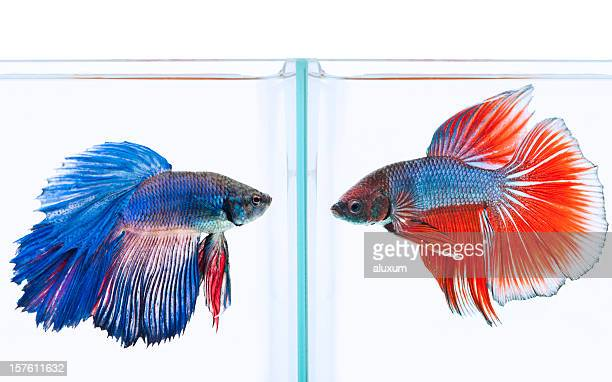 blue and red siamese fighting fish