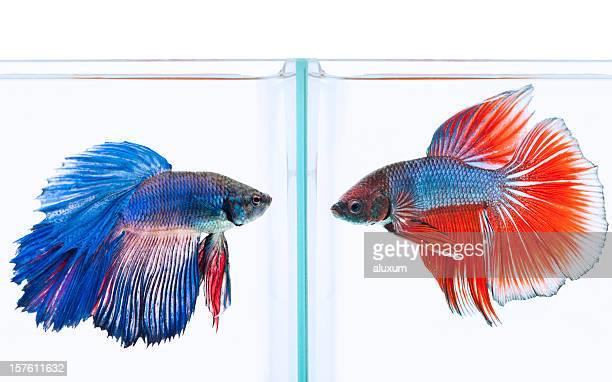 Blaue und rote Siamesischer Kampffisch