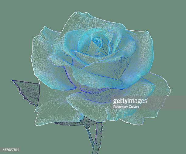 Blue and sage green rose.