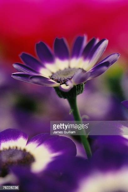 Blue and white bicolour cineraria flower, april