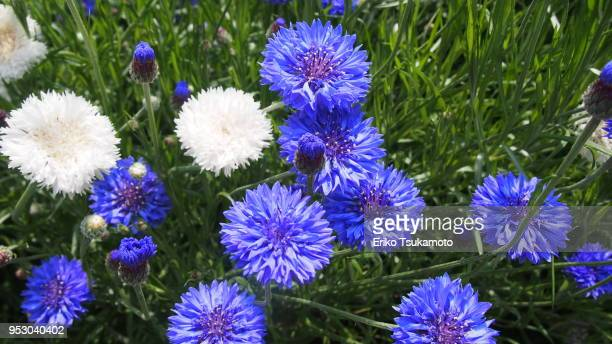 Blue and white cornflower, 'Yaguruma-giku'