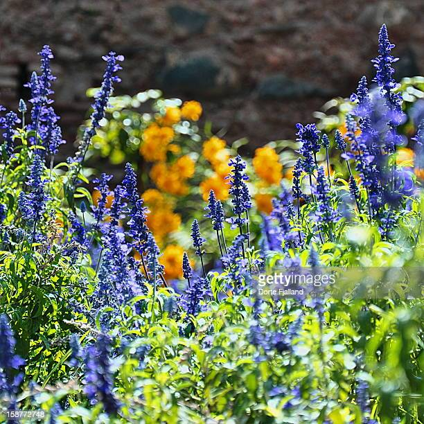 blue and yellow flowers - dorte fjalland stock pictures, royalty-free photos & images