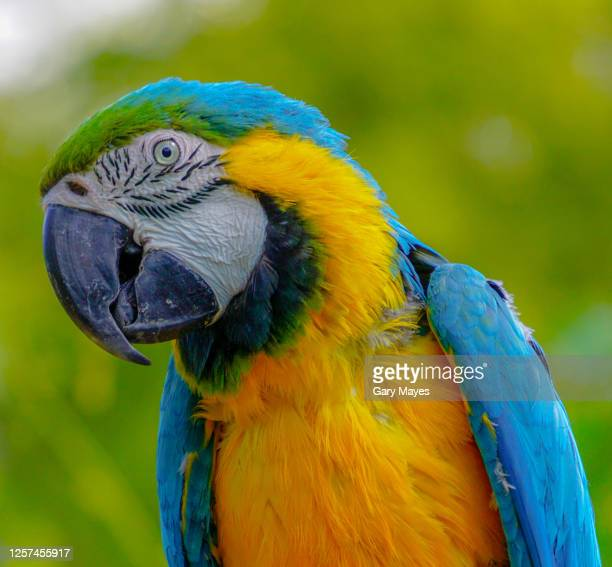 blue and yellow gold macaw parrot bird - animal eye stock pictures, royalty-free photos & images