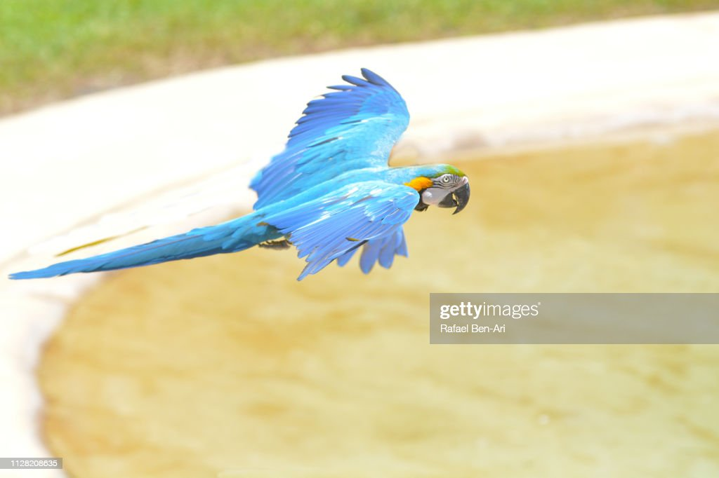 Blue and yellow Macaw Flying : Stock Photo