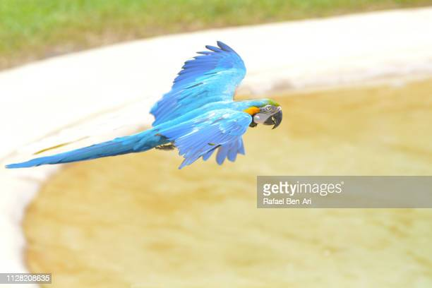 blue and yellow macaw flying - rafael ben ari stock pictures, royalty-free photos & images