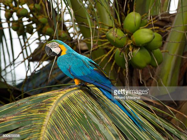 Blue and yellow macaw in palm tree.