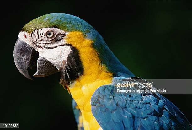 Blue and yellow Macaw parrot (Ara ararauna)