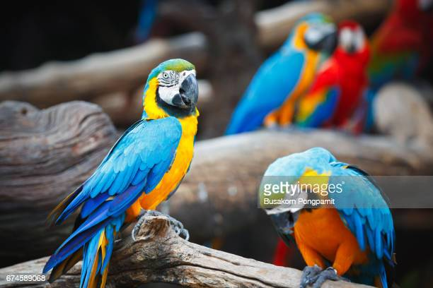 blue and yellow macaw - oiseau tropical photos et images de collection