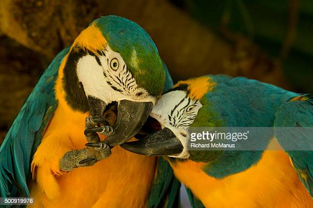 Blue and yellow macaws fighting over palm nut.