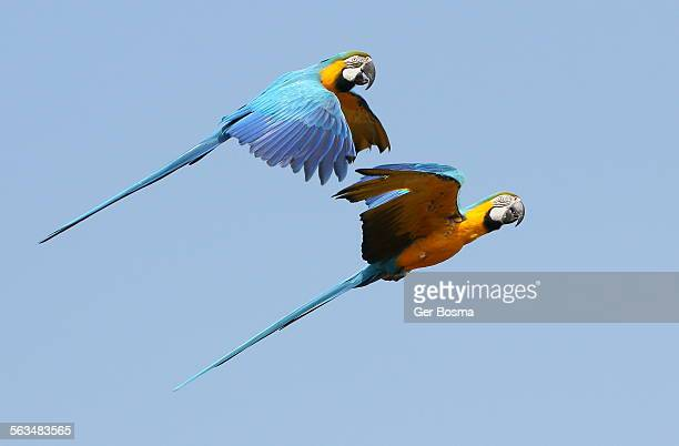 Blue and yellow macaws in flight