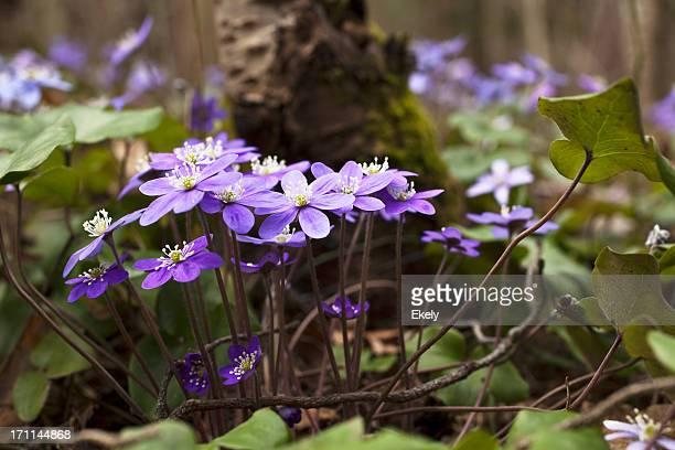 Blue anemone in spring.