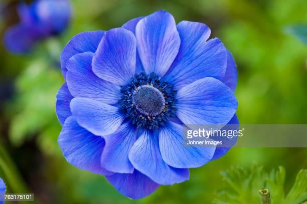 blue anemone - primavera estación fotografías e imágenes de stock