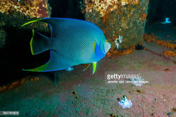 blue angelfish swim throughout the usts texas clipper shipwreck. - sunken stock pictures, royalty-free photos & images
